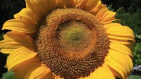 Abelhas que alimentam em um girassol de florescência, close up filme