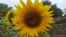 Abelhas que amam o sol do tbe Foto de Stock