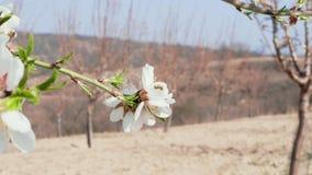 Abelhas que polinizam as flores brancas da amêndoa - conceito da primavera video estoque