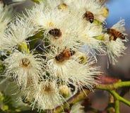 Abelhas que polinizam Sugar Gum Tree (cladocalyx do eucalipto) imagem de stock royalty free