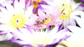 Abelhas que voam com o pólen dos lótus filme