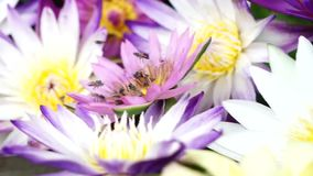 Abelhas que voam com o pólen dos lótus video estoque