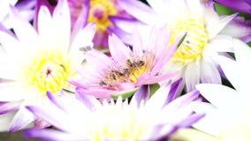 Abelhas que voam com o pólen dos lótus vídeos de arquivo