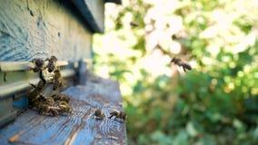 Abelhas que voam em e para fora colmeia video estoque