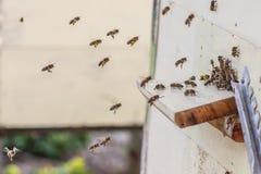 Abelhas que voam na colmeia Imagens de Stock