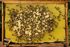 Abelhas, suas larvas e casulos Imagem de Stock