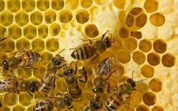 Abelhas, suas larvas e casulos, casulos das rainhas das abelhas Foto de Stock