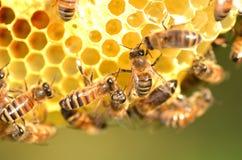 Abelhas trabalhadoras no favo de mel Imagem de Stock Royalty Free