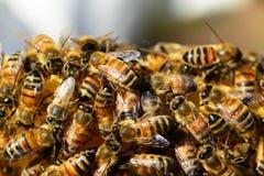Abelhas, um enxame das abelhas, abelhas nos favos de mel, apicultura, vida das abelhas, cultivo subsidiário, produção e manutençã Imagens de Stock