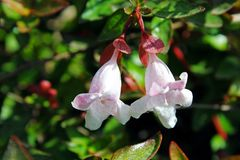 Abelia floribunda. Two beautiful flowers of Abelia floribunda at UCSD, San Diego, California. Abelia comes from the southern parts of Asia and in particular from stock images