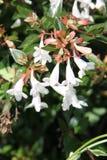 Abelia x grandiflora. Abelia × grandiflora is a hybrid Abelia, raised by hybridising Abelia chinensis with Abelia uniflora. Glossy abelia is a deciduous shrub Stock Photo