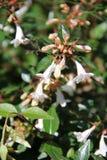 Abelia Χ grandiflora Στοκ Εικόνες