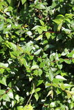 Abelia grandiflora x Royaltyfria Foton