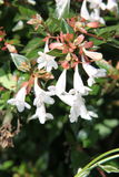 Abelia X grandiflora Photo stock