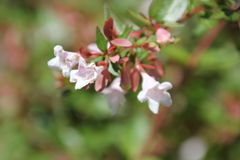 Abelia x grandiflora Stock Photo