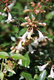 Abelia x grandiflora Stock Photo