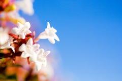 Abeliablumen gegen Hintergrund des blauen Himmels Lizenzfreie Stockbilder