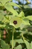 Abelmoschus esculentus blomma Arkivbilder