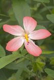 Abelmosk blomma Royaltyfria Foton