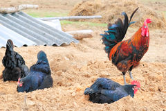 Abençoado e aves domésticas na vila foto de stock
