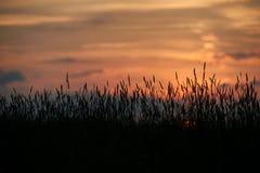 Abend auf dem Gebiet, sonnen das Glänzen auf Wildflowers oder Unkräutern lizenzfreie stockbilder