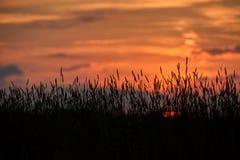 Abend auf dem Gebiet, sonnen das Glänzen auf Wildflowers oder Unkräutern lizenzfreies stockfoto