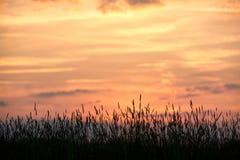 Abend auf dem Gebiet, sonnen das Glänzen auf Wildflowers oder Unkräutern lizenzfreie stockfotografie