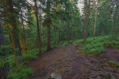 Abend am gezierten Gebirgswald Stockbilder