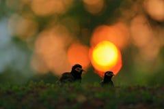 Abend im Gras mit Vogel Sonnenaufgang in der Natur Allgemeines Myna, Acridotheres tristis melanostermus, Vogel von Sri Lanka Tier Stockfotos