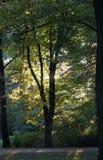 Abend im Stadtpark Sonnenlicht im Herbstlaub von hohen Bäumen Lizenzfreie Stockfotos