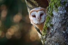 Abend mit Vogel Schleiereule, die auf Baumstamm am Abend mit nettem Licht nahe der Nisthöhle sitzt Szene der wild lebenden Tiere  Lizenzfreies Stockfoto
