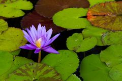 Abend Waterlily erhellt Garten-Teich lizenzfreies stockfoto