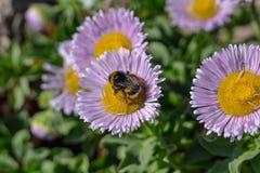 Abendessen-Zeit für eine Biene stockbild