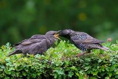 Abendessen-Zeit-Stargewordener vogel, der eingezogen wird stockfotos
