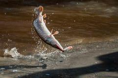Abendfischen durch den Fluss Stockbild