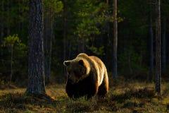 Abendlicht mit großem Braunbären Schöner Braunbär, der morgens um Sonne des Sees geht Gefährliches Tier im Naturwald Stockfoto
