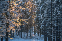 Abendwald im Winter Stockbild