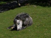 Aber nedgångar - lösa ponnyer Royaltyfri Bild