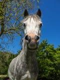 Aber nedgångar - lösa ponnyer Fotografering för Bildbyråer