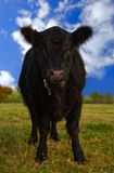 Aberdeen Angus Cow Stock Image