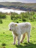Aberdeen Angus, Highland Cow Royalty Free Stock Photography