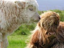 Aberdeen Angus, Hochland-Kuh Stockfotos
