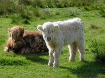 Aberdeen Angus Scozia Immagini Stock