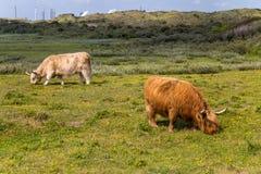 Aberdeen Angus Shetland nötkreatur som betar i, betar royaltyfri foto