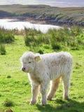 Aberdeen Angus, vaca das montanhas Fotografia de Stock Royalty Free