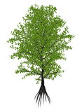 Aberia caffra, the Umkokola, Kei, Kai or Kau apple tree, Dovyalis caffra - 3D render Stock Photo