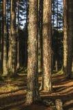 Abernethy的古苏格兰森林在苏格兰 图库摄影