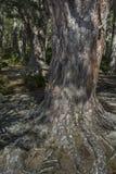 Abernethy的古苏格兰森林在苏格兰 免版税库存照片