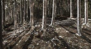 Abernethy的古苏格兰森林在苏格兰 免版税库存图片