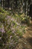 Abernethy skognatur i den Cairngorms nationalparken Royaltyfria Bilder
